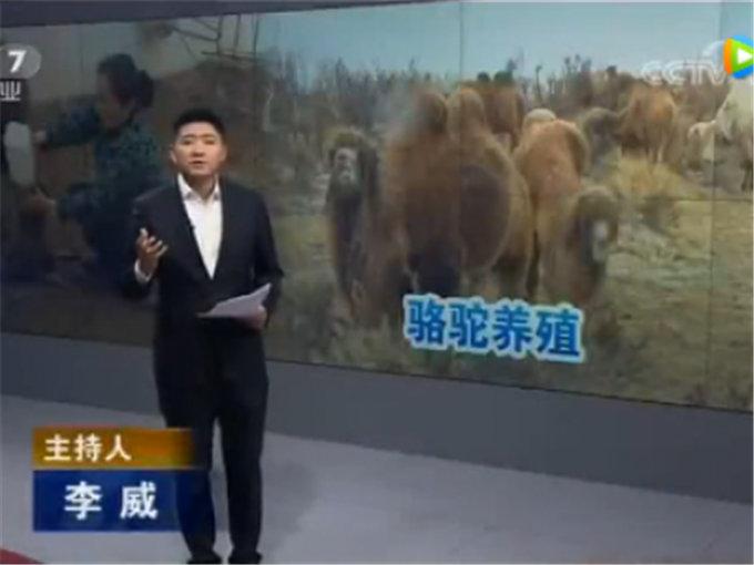聚焦三农骆驼去哪儿了--央视