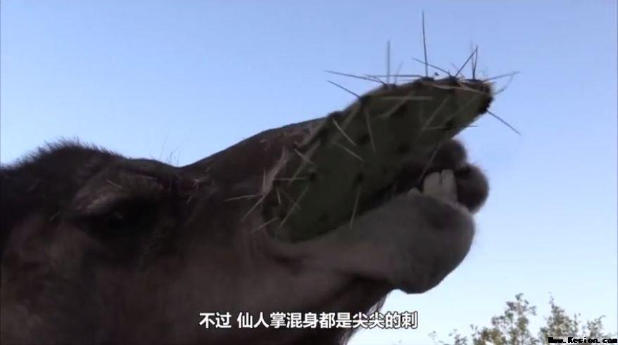 骆驼爱吃仙人掌,看了嘴疼