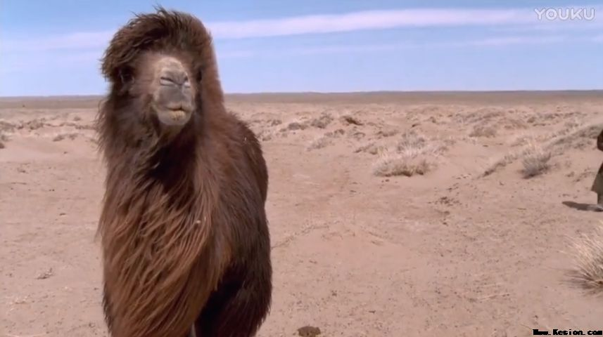 《哭泣的骆驼》感人的劝奶歌