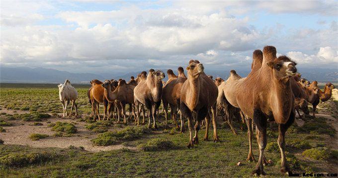 骆驼奶的美容原理并不单一而是从多方面下手