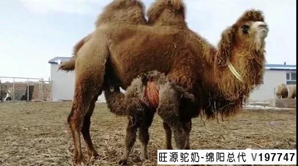 为您解读骆驼奶为什么是治疗肿瘤的好帮手?