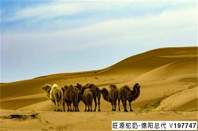 骆驼奶是最有营养的奶,是真的吗?