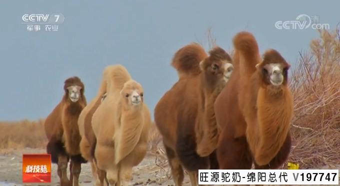 你不知道的有关骆驼奶的一些问题(一)