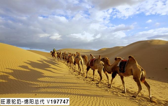 骆驼在荒漠里是怎么生存的