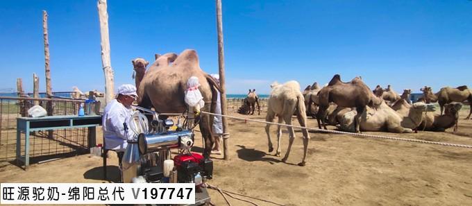 「国运七十,礼讚新疆」走進「中國駱駝之都」新疆福海縣