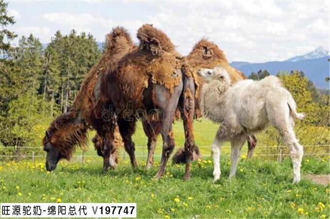 认识骆驼初乳,为什么这么金贵?