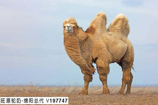骆驼奶与你的健康有关系吗?看
