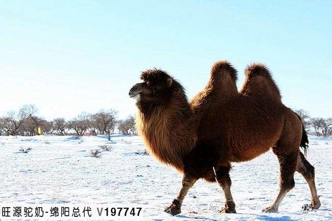 双峰骆驼与单峰骆驼的区别