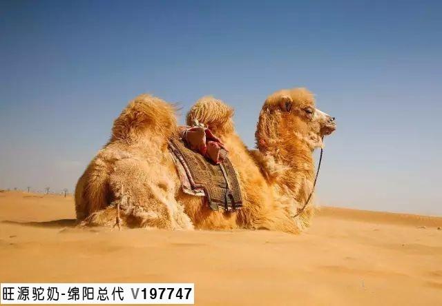 神奇的骆驼,神奇的特性