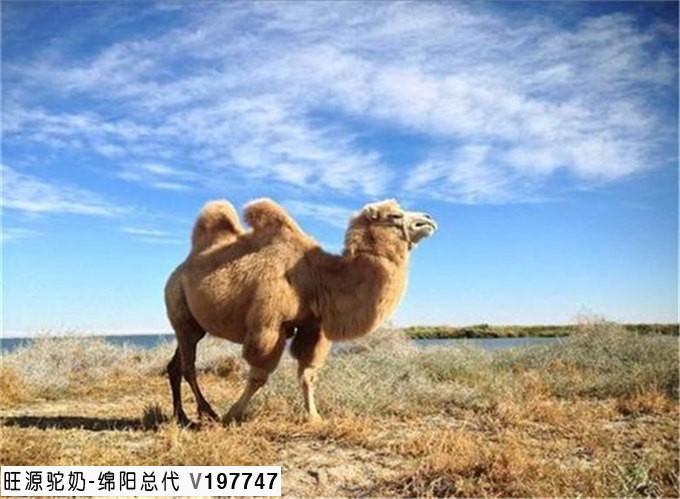 发酵脱脂骆驼奶对自发性高血压大鼠的降压作用