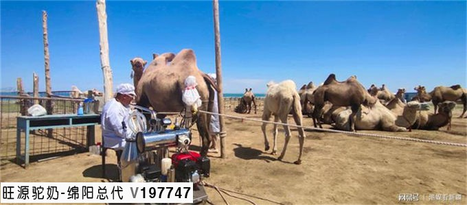"""""""中国驼奶之都""""新疆福海""""骑""""上骆驼奔小康"""