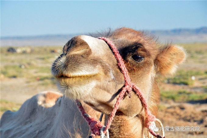 旺源骆驼奶绵阳总代理为您提供:骆驼吃的不是草,骆驼吃的是刺!