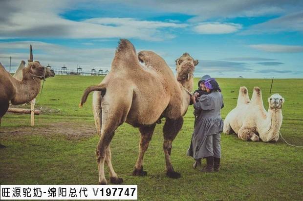骆驼奶能助睡眠吗?