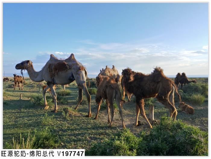 双峰骆驼奶生物活性