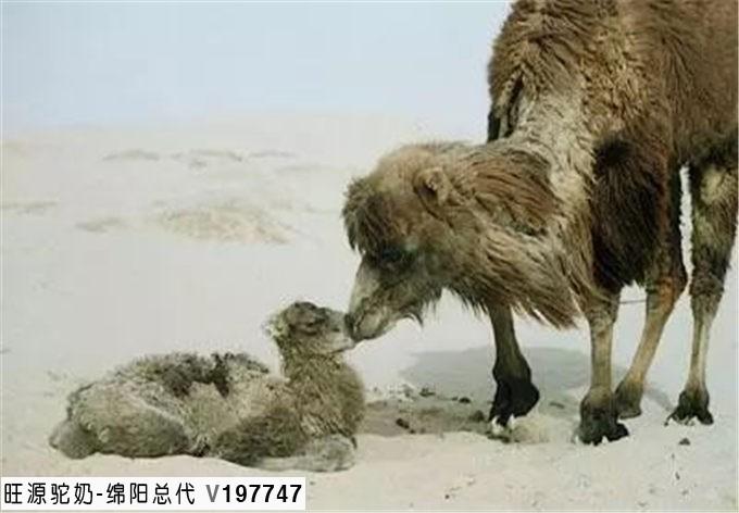 旺源骆驼奶绵阳总代理为您提供:认识骆驼初乳,为什么这么金贵?