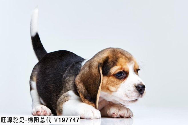 """旺源骆驼奶绵阳总代理为您提供:中国农业农村部:狗已""""特化""""为伴侣动物"""
